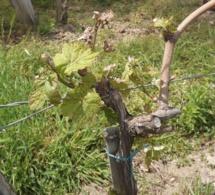 Gel : quelle reprise dans les vignes touchées ?