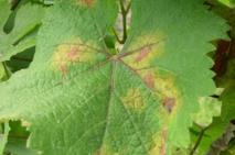 Face au mildiou, le cuivre est le seul remède utilisé en bio. Et même parfois, chez les conventionnels.