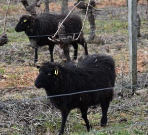 Des moutons pour pâturer Montlouis