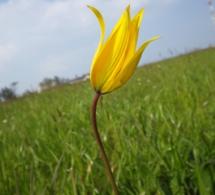 Et au milieu, poussent… des tulipes