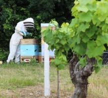Des ruches connectées dans les vignes du Muscadet