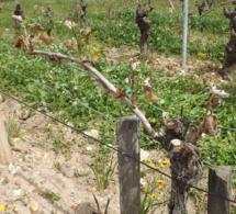 Gel : en Indre-et-Loire, les premières mesures d'aides
